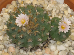 Lophophora Williamsii in flower