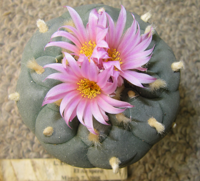 Lophophora fricii - False Peyote | World of Succulents