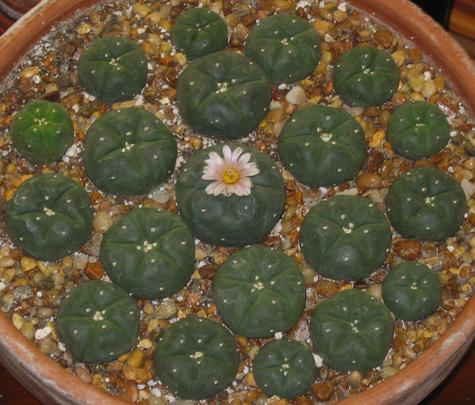 L Williamsii Planted Dec 14 Of 06 Flowering June 11 08